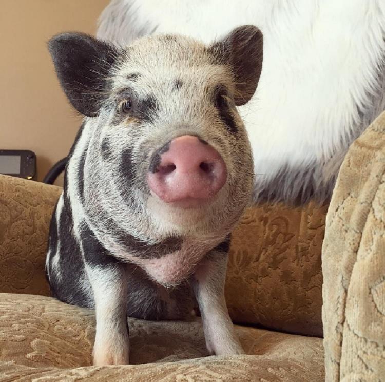 Debes saber que un cerdo taza de te va a crecer 13
