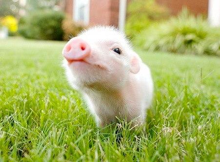 Debes saber que un cerdo taza de te va a crecer 2