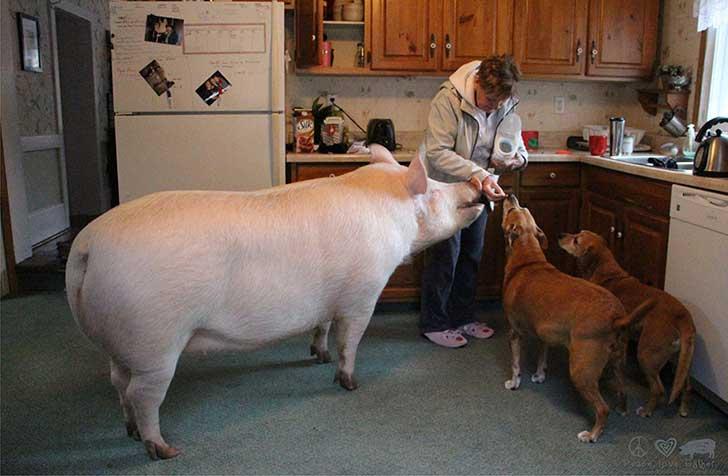 Debes saber que un cerdo taza de te va a crecer 3