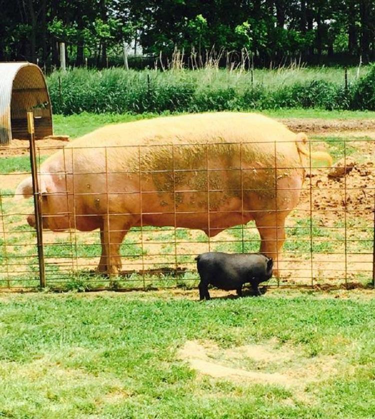 Debes saber que un cerdo taza de te va a crecer 4