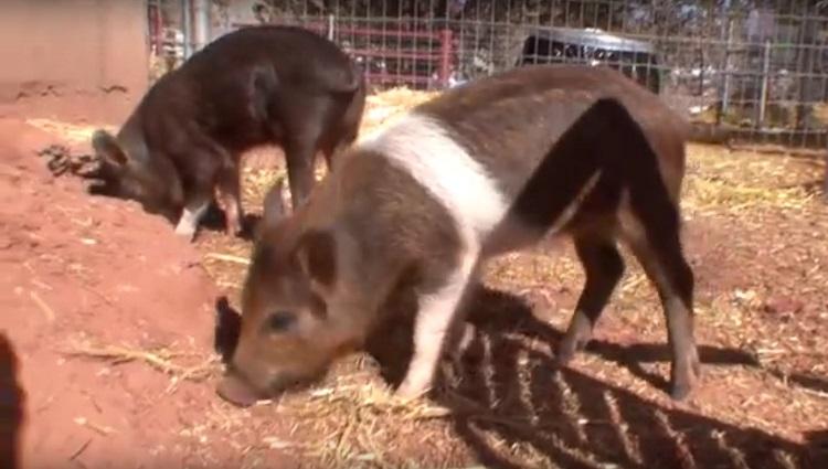 Debes saber que un cerdo taza de te va a crecer 5