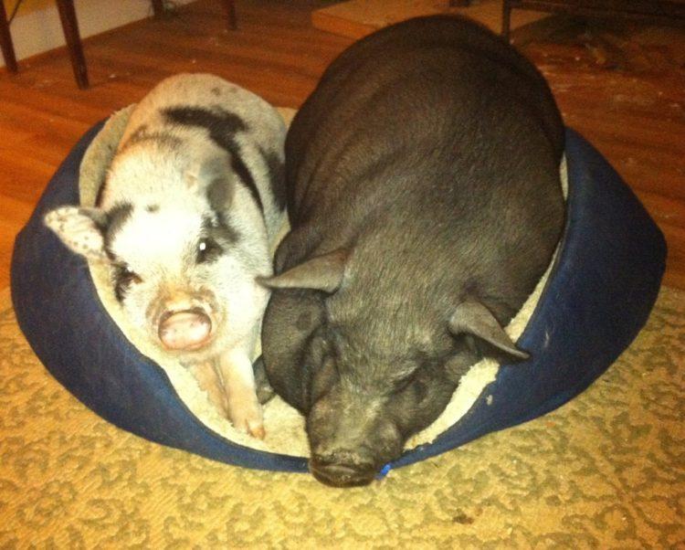 Debes saber que un cerdo taza de te va a crecer 7