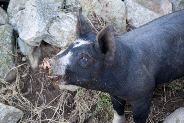 Debes saber que un cerdo taza de te va a crecer 8