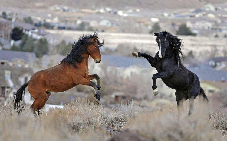 defensa-caballos-salvajes-estados-unidos-6