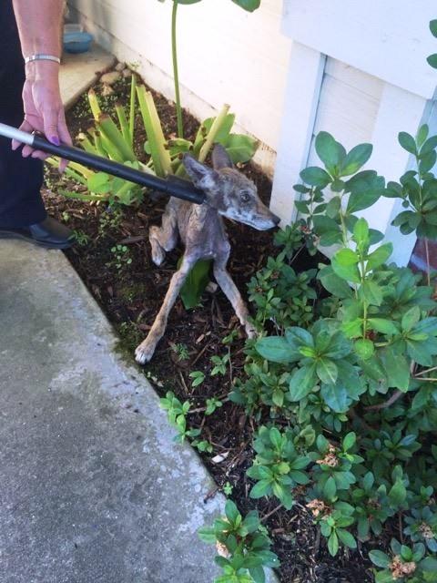 enfermo-perro-encontrado-acurrucado-en-el-portico-se-ocultaba-2