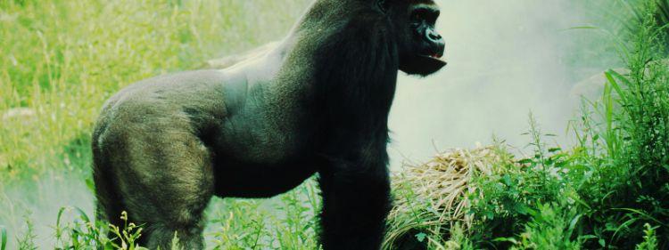 gorila-oriental-peligro-extincion-1