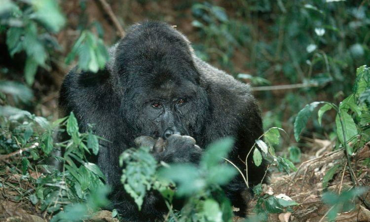 gorila-oriental-peligro-extincion-2