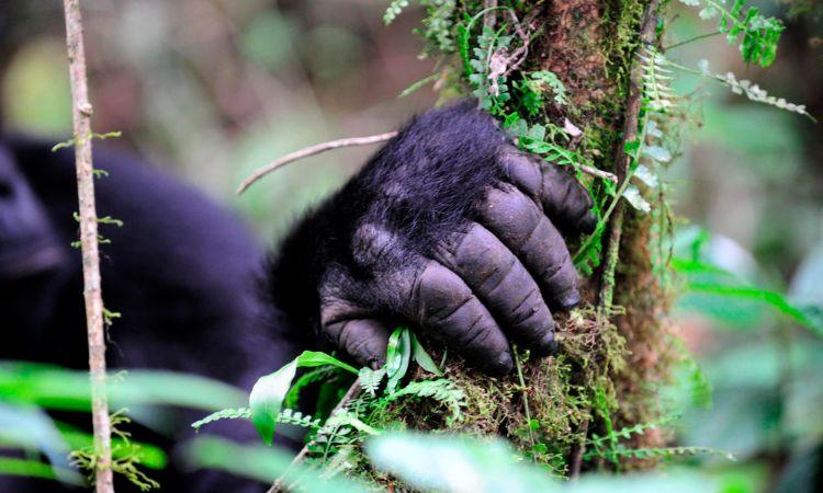 gorila-oriental-peligro-extincion-3