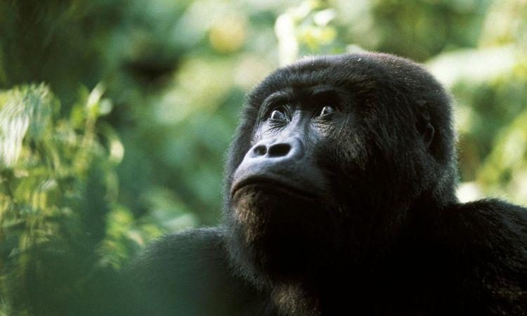 gorila-oriental-peligro-extincion-4