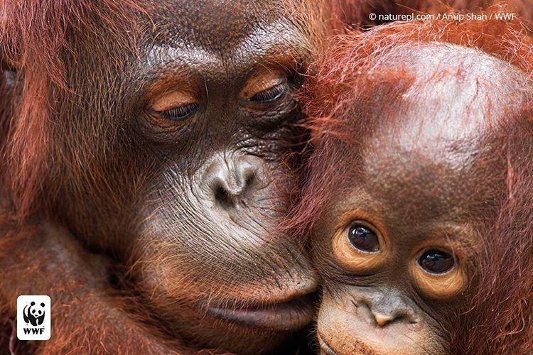 gorila-oriental-peligro-extincion-5