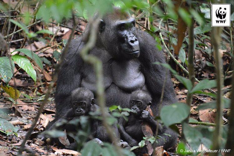 gorila-oriental-peligro-extincion-6
