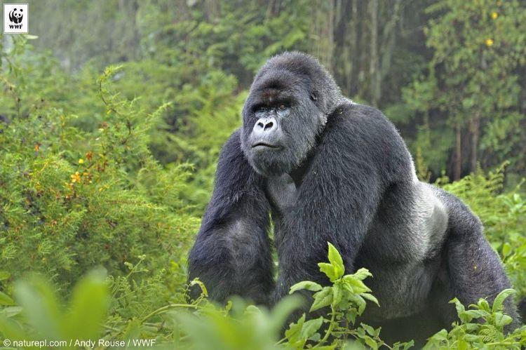 gorila-oriental-peligro-extincion-7