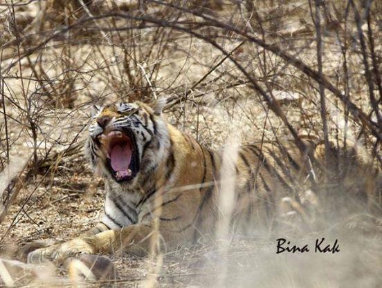machli-la-tigresa-mas-longeva-y-famosa-de-la-india-fallecio-1