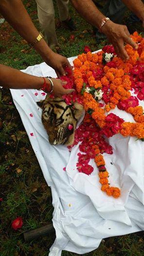 machli-la-tigresa-mas-longeva-y-famosa-de-la-india-fallecio-10