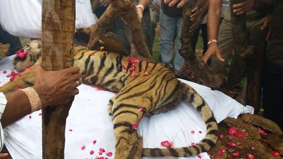 machli-la-tigresa-mas-longeva-y-famosa-de-la-india-fallecio-11