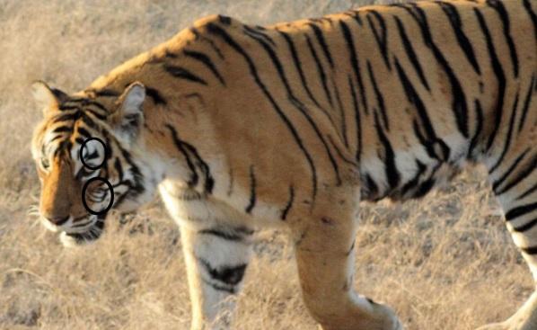 machli-la-tigresa-mas-longeva-y-famosa-de-la-india-fallecio-3