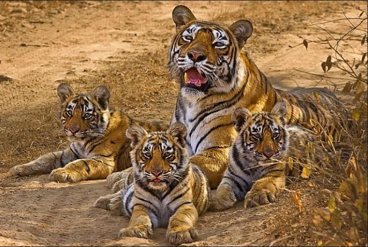 machli-la-tigresa-mas-longeva-y-famosa-de-la-india-fallecio-4
