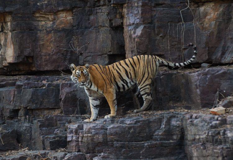 machli-la-tigresa-mas-longeva-y-famosa-de-la-india-fallecio-5