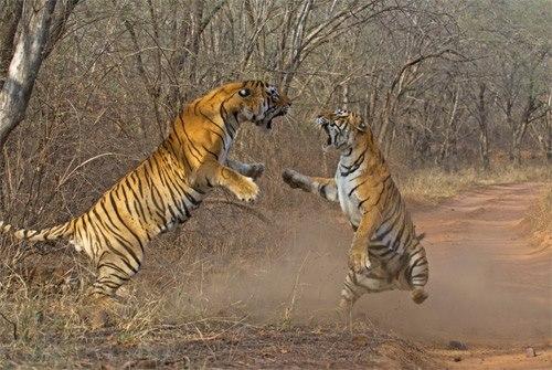 machli-la-tigresa-mas-longeva-y-famosa-de-la-india-fallecio-6