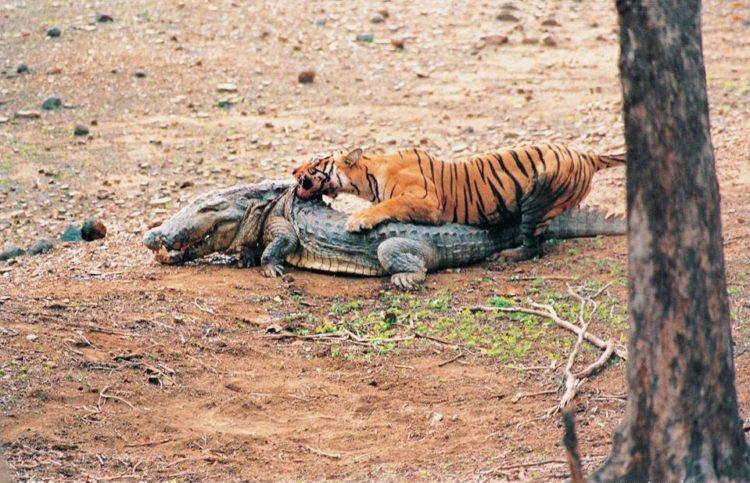 machli-la-tigresa-mas-longeva-y-famosa-de-la-india-fallecio-7