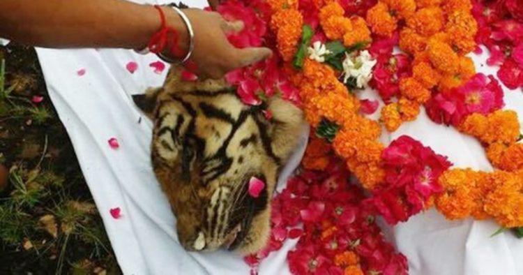 machli-la-tigresa-mas-longeva-y-famosa-de-la-india-fallecio-8