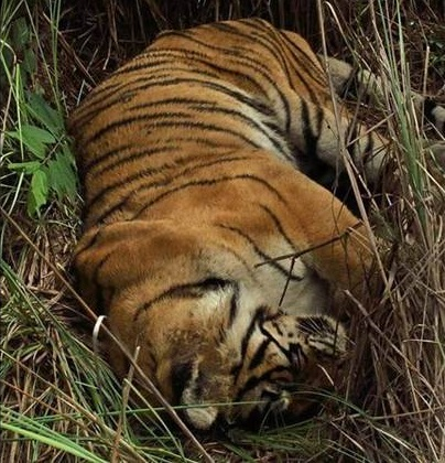 machli-la-tigresa-mas-longeva-y-famosa-de-la-india-fallecio-9