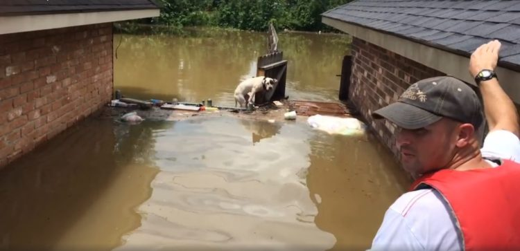 rescatistas-salvan-dos-perros-pitbull-atrapados-en-el-agua-tras-inundaciones-en-luisiana-4