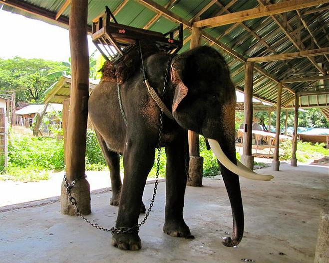 turistas-deben-negarse-a-dar-paseos-en-elefantes-para-librarlos-del-dolor-de-su-alma-rota-15