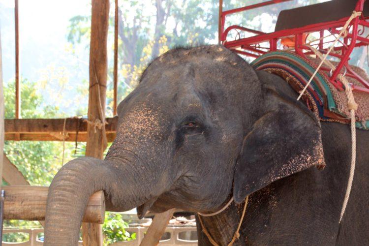turistas-deben-negarse-a-dar-paseos-en-elefantes-para-librarlos-del-dolor-de-su-alma-rota-4