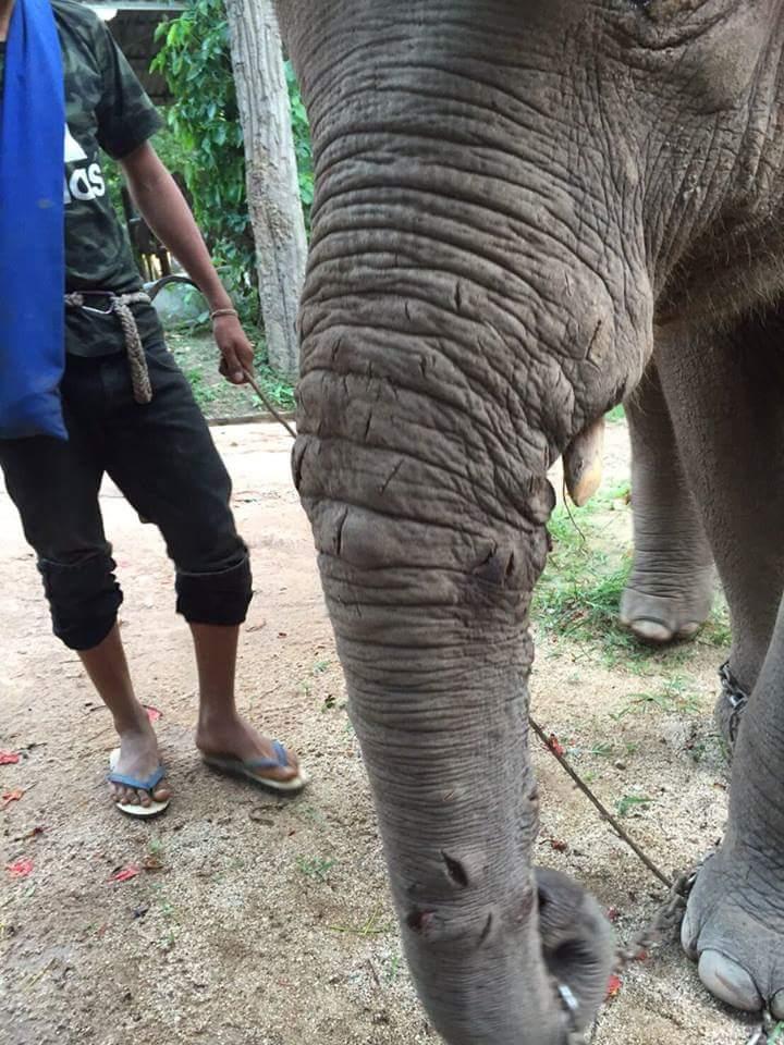 turistas-deben-negarse-a-dar-paseos-en-elefantes-para-librarlos-del-dolor-de-su-alma-rota-8