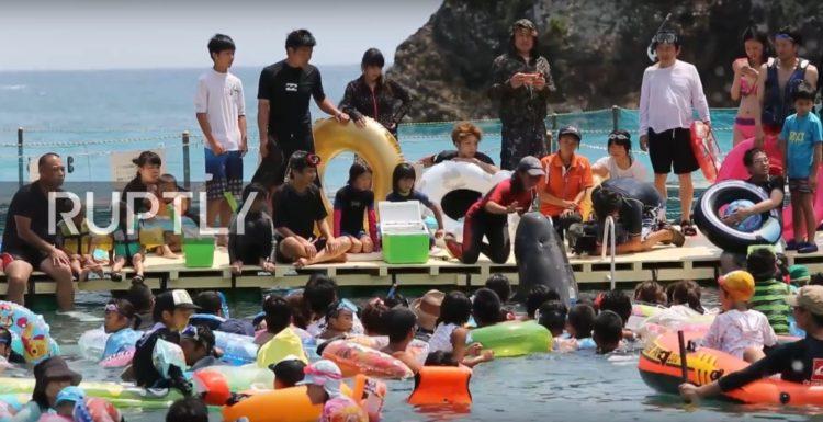 turistas-nadan-con-delfines-en-las-aguas-de-taiji-japon-donde-seran-sacrificados-al-iniciar-temporada-de-caceria-1
