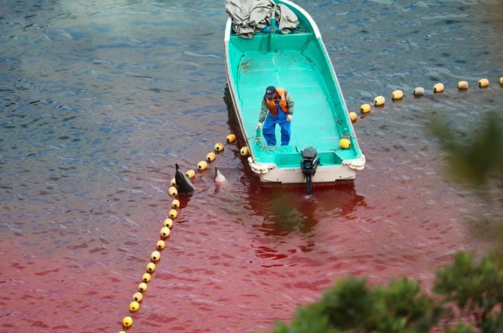 turistas-nadan-con-delfines-en-las-aguas-de-taiji-japon-donde-seran-sacrificados-al-iniciar-temporada-de-caceria-3