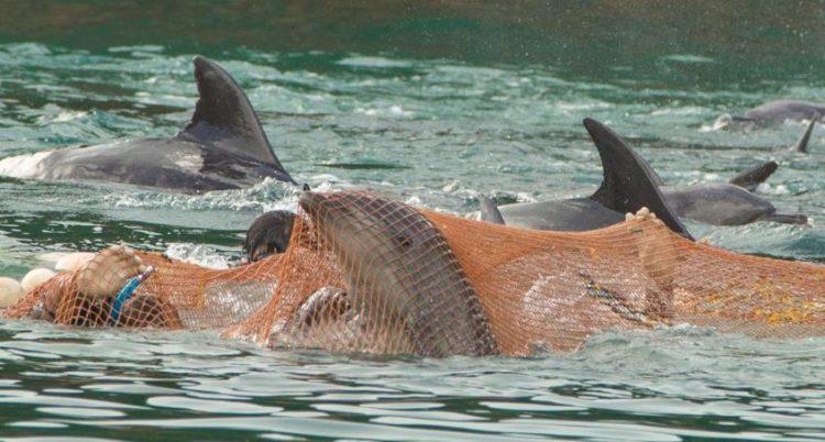 turistas-nadan-con-delfines-en-las-aguas-de-taiji-japon-donde-seran-sacrificados-al-iniciar-temporada-de-caceria-4
