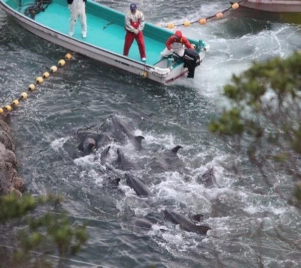 turistas-nadan-con-delfines-en-las-aguas-de-taiji-japon-donde-seran-sacrificados-al-iniciar-temporada-de-caceria-5