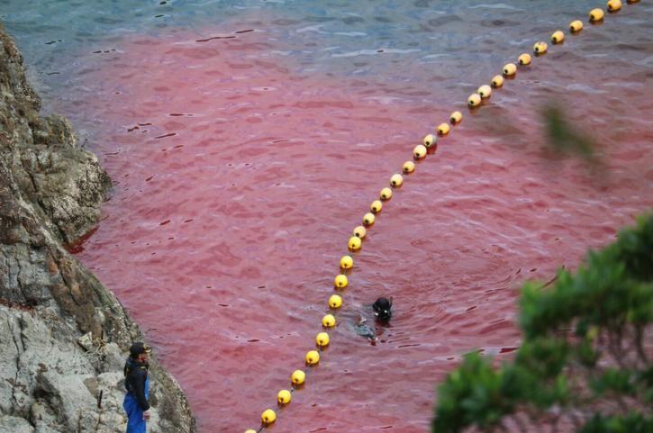 turistas-nadan-con-delfines-en-las-aguas-de-taiji-japon-donde-seran-sacrificados-al-iniciar-temporada-de-caceria-6