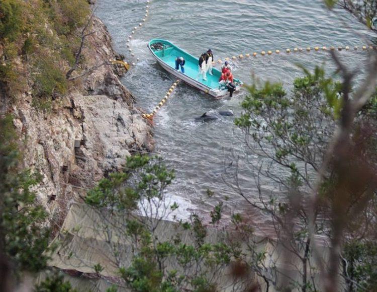 turistas-nadan-con-delfines-en-las-aguas-de-taiji-japon-donde-seran-sacrificados-al-iniciar-temporada-de-caceria-7