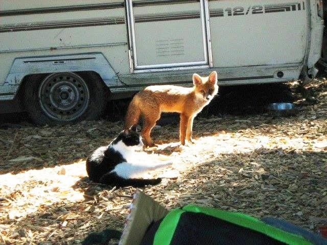 zorro-cena-con-gatos-1
