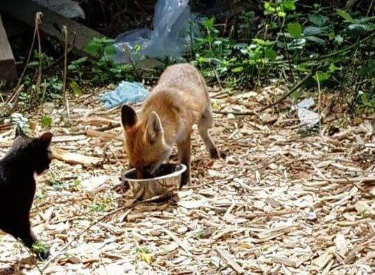 zorro-cena-con-gatos-4