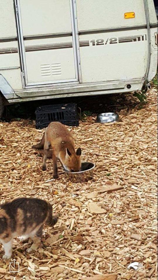zorro-cena-con-gatos-5