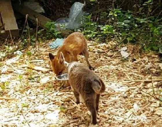 zorro-cena-con-gatos-6