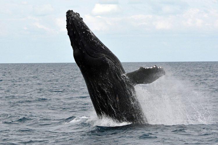 ballena-jorobada3