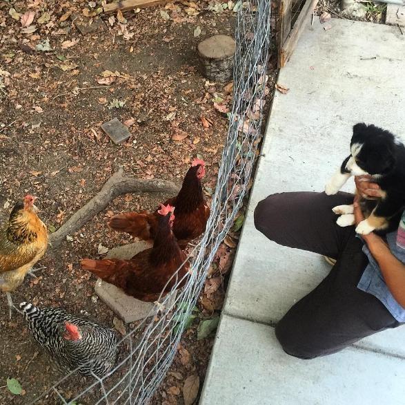 cachorro-y-gallinas-4
