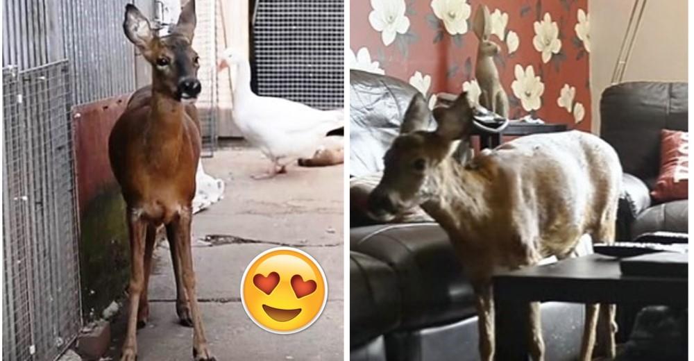ciervo-rescatado-que-se-cree-perro