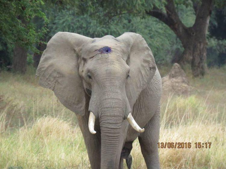 elefante-disparo6