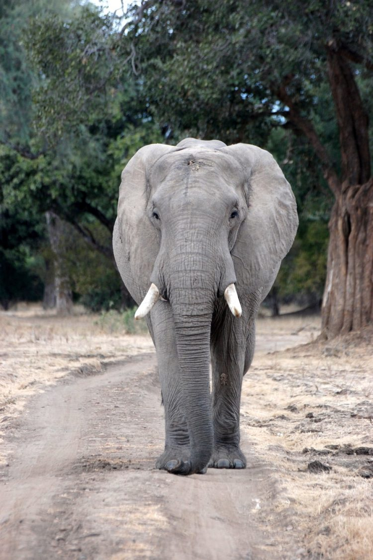 elefante-disparo8