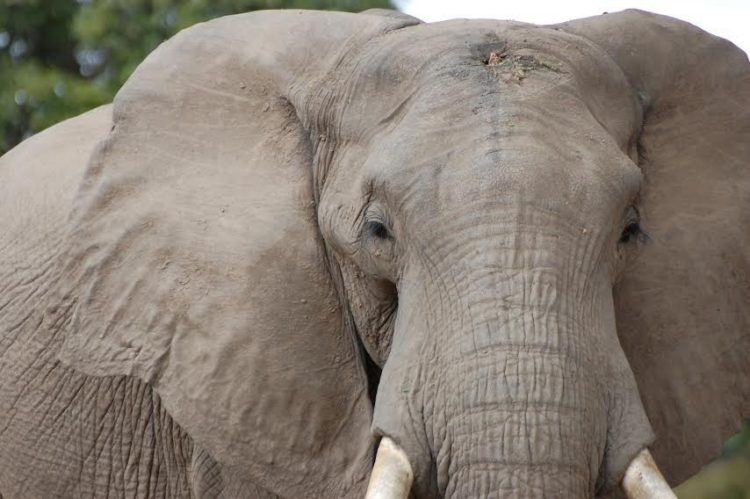 elefante-disparo9