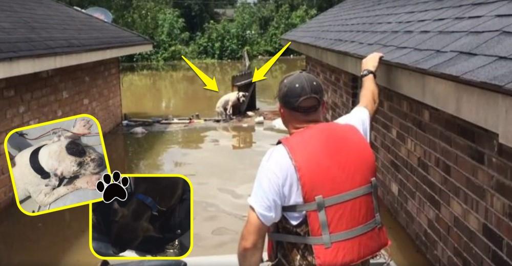 hombre-rescata-a-dos-pitbull-de-inundacion-luisiana