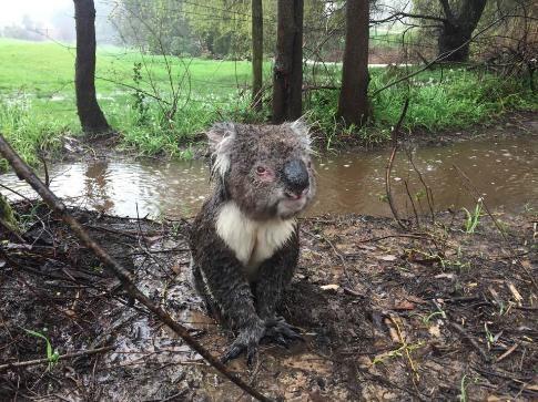 koala-mojado-1