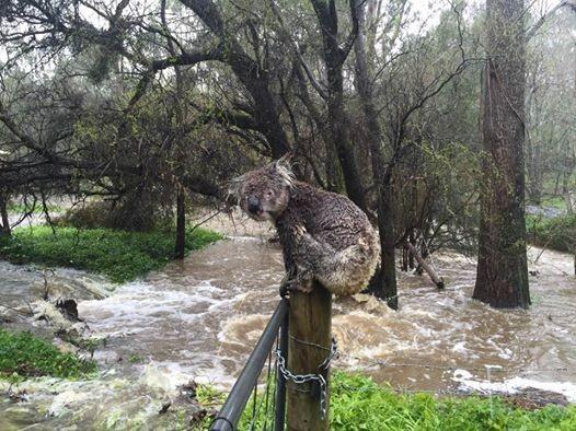 koala-mojado-2