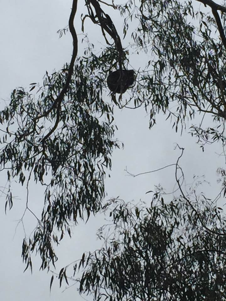 koala-mojado-3